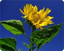 hausmittel gegen depressionen, sonnenblume